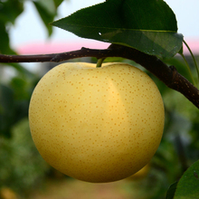 2017 Chinese Organic Fresh Gold Pear