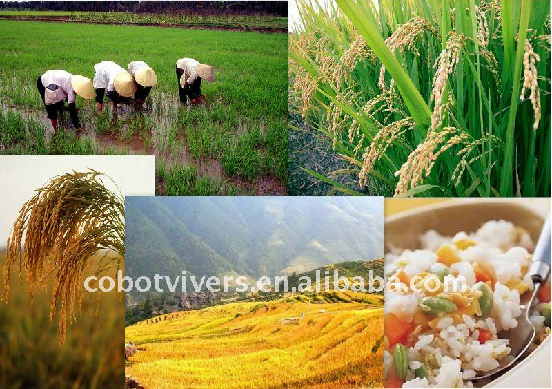 high quality jasmin rice producing company