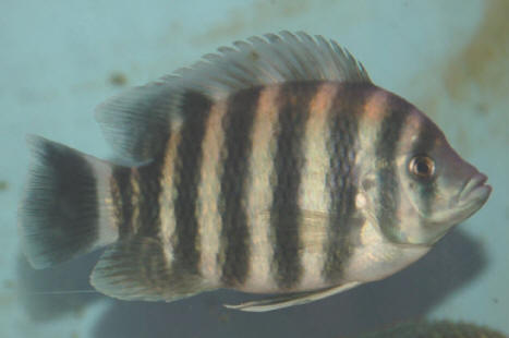 TROPICAL FISH TIGER ZEBRA TILAPIA CICHLID