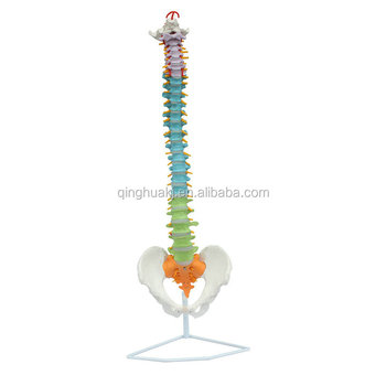 New style life size human vertebral column and pelvis model