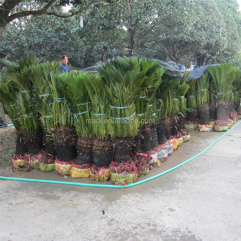 live cycas revolute bonsai trees for sale