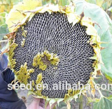 chinese black sunflower seeds 5009 for your choice