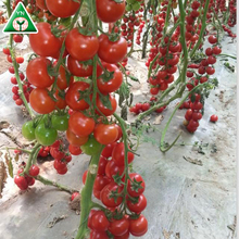 Red Jumbo F1 Hybrid Tomato Seeds / Tomato Seeds MEIDUO NO.1 F1