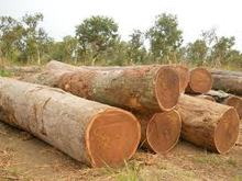 pine wood,acasia wood,birch wood, hard wood logs