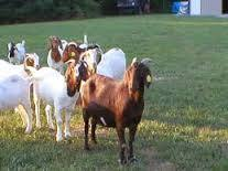 Malabari Goats for sale, All types of goats for sale,Goat farm in kerala