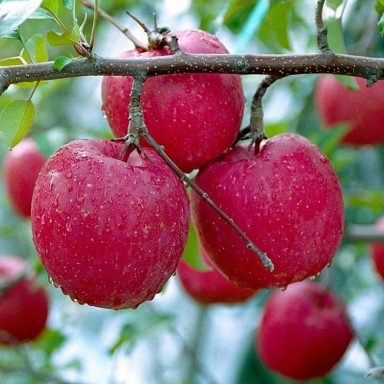 new season fresh red fuji apples,origin:qixia,yantai---export to india/pakistan/europe/middle east-130329087