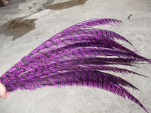 Lady amhest reeves zebra tail pheasant feather