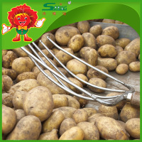 2016 yellow potatoes from Yunnan highland growing big and samll potato