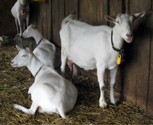 Live Saanen Goats Available