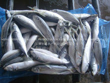 New caught BQF whole round / HGT horse mackerel from Zhengyuan aquatic