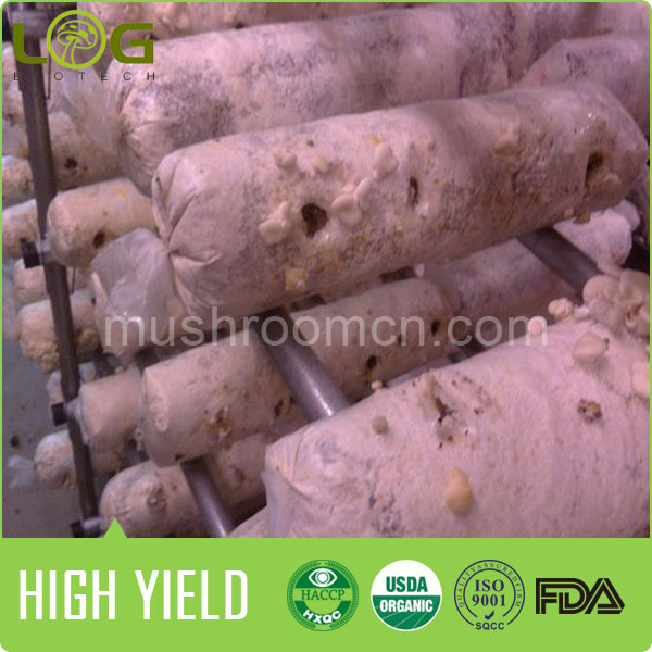 hot sale high quality 800-1200 gram yield oyster culture system for farming oyster mushroom 1kg price