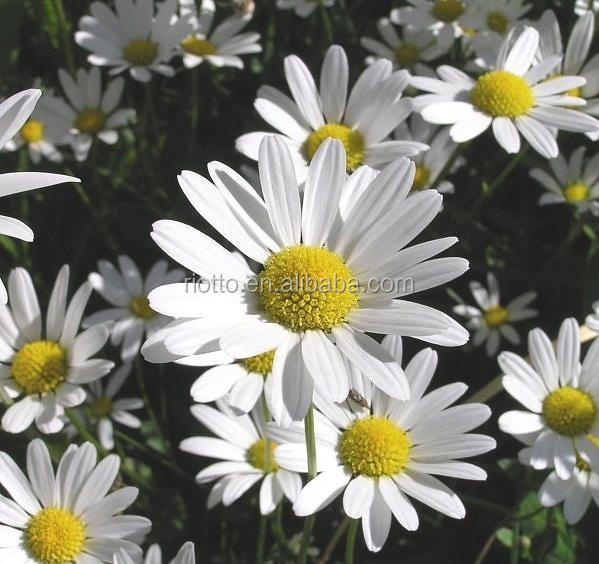 Pure Natural Chamomile Extract 1.2%,3%, 90%, 95%, 98% Apigenin