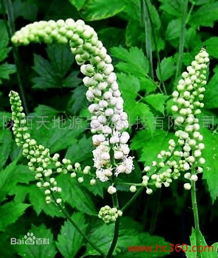 High Quality Black Cohosh Extract Powder for sale