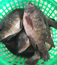 Live Fish Black Iced Tilapia Whole Round For Sale