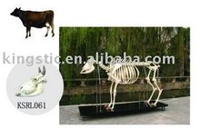 Cattle skeleton (skull)