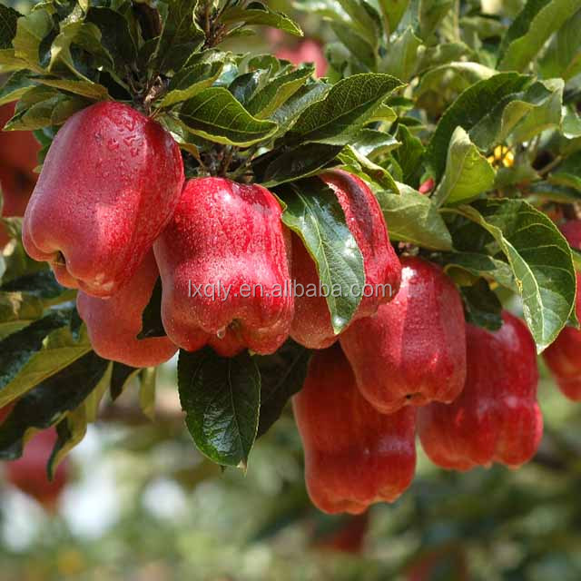 new crop fresh cheap sweet apple fruit for sale