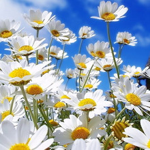 NutraMax Manufacturer- chamomile extract/chamomile standardized extract / chamomile extract apigenin