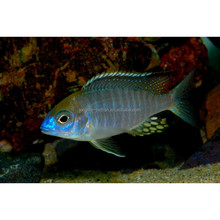 "Cichlid Lovers Export Ornamental Live Tropical Fish Lethrinops sp. "" Red Cap """