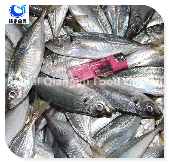 frozen yellow tail horse mackerel fish