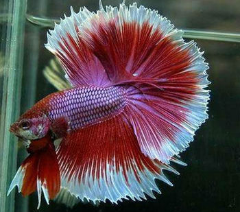 Exotic tropical fighter fish buy beta fish product on for Exotic pet fish