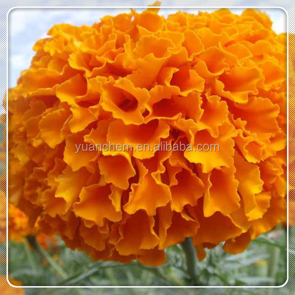 extraction of marigold oleoresin best price
