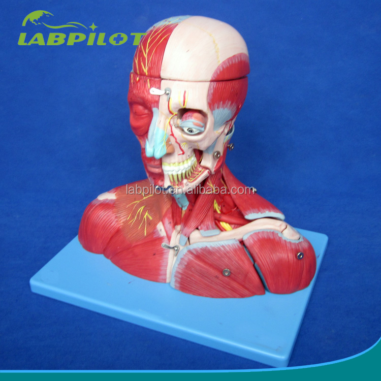 19 Parts Head And Neck With Musclesnerves And Brainanatomical Head