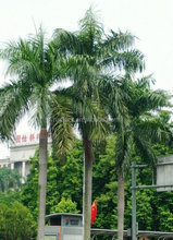 evergreen tropical fruit trees for sale ornamental giant coconut palm tree landscape