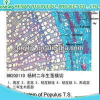 Annul stem of Tilia T.S. higher education microscope slides