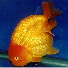 fish - Goldfish Ranchu