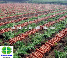 Chonghong No.1 F1 Hybrid Carrot seeds for planting