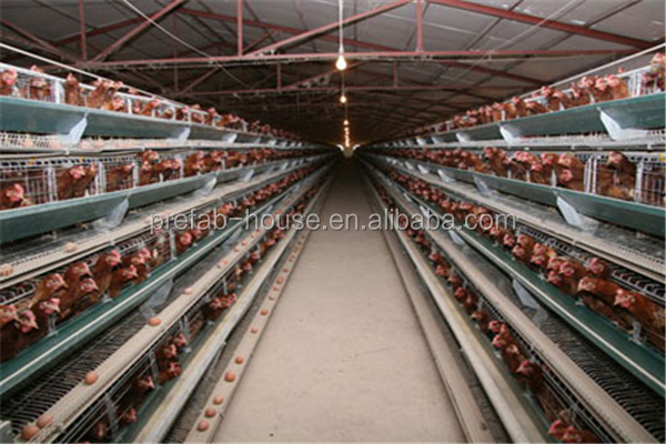 egg layer chicken and broiler chicken  prefabricated poultry farm shed 100*12*4.5m