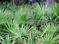 Best improves sexual product Saw Palmetto extract