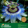 Total Flavones 4%, 8%,20% UV from Passion Flower Extract
