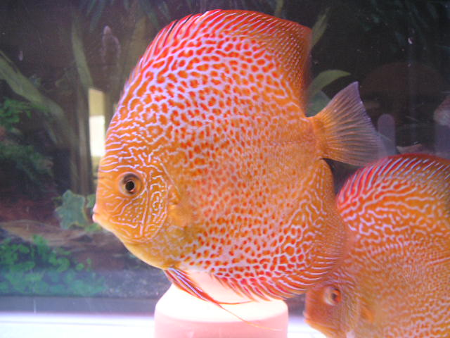 TROPICAL FISH PIGEON SNAKE DISCUS