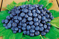 25% anthocyanidin bilberry extract 100% natural and organic