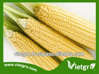 High Yield OP Field Corn Seeds/ Sweet Corn Seed/ Glutinous Corn Seed For Growing VGSC