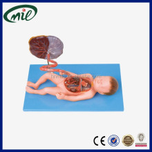 Advanced educational Anatomical Model of Fetal Blood Circulatory System