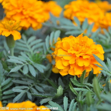 Water Soluble Marigold Extract Lutein For Function Drink