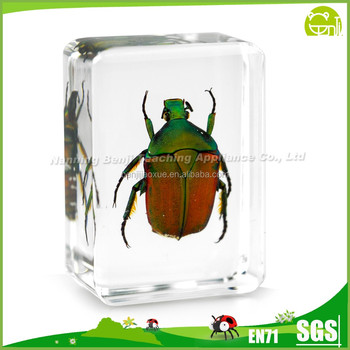 Brown Rose Chafer for Arts and Collectible