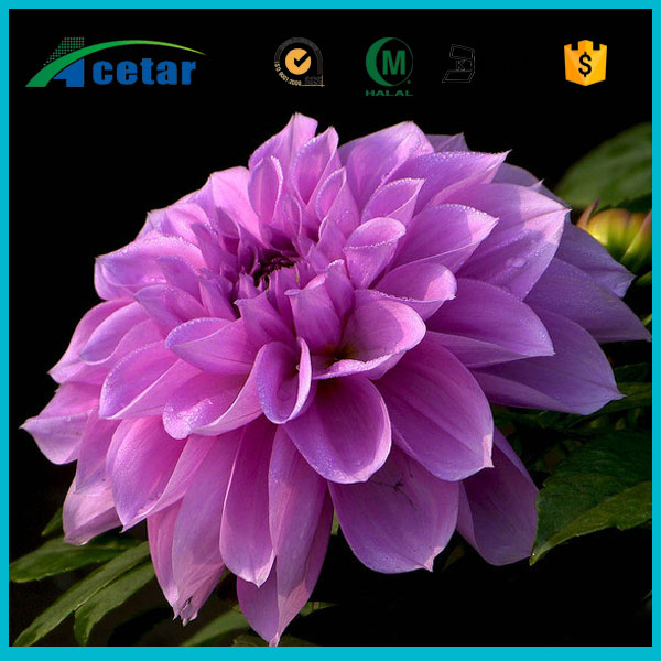 elderly care products passiflora trifasciata extract plants powder