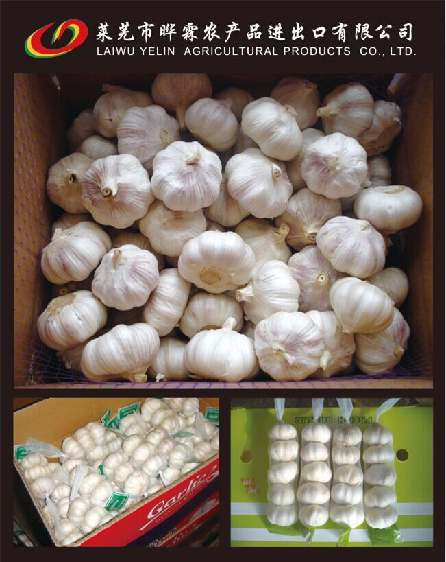 2016-2017 fresh garlic