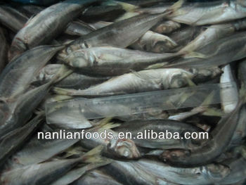 best selling of horse mackerel frozen