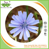Natural herbal powder chicory extract Inulin 90% with high quality