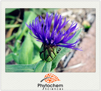 Plant extraction type Cornflower Extract