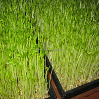Ya cai zhong zi hot sale in the market Growing Bean Sprouts