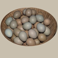 The Chinese ring necked pheasant eggs(Table&Hatching)