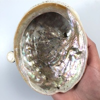 12cm DIY Home Decoration Natural Conch Craft Sea Beach Raw Abalone Shell