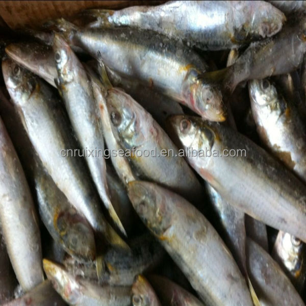 Frozen bait sardines oil sardine fish whole round