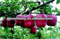 delicious fresh red huaniu apple hot sale ,China(apple:fuji, huaniu, gala, golden,qingguan, red star)
