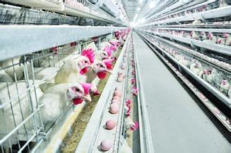 High Quality Poultry Houses